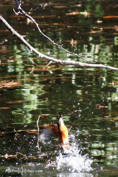 水面から出てくるカワセミです
